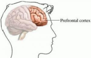Prefrontal Cortex, the Brain's CEO